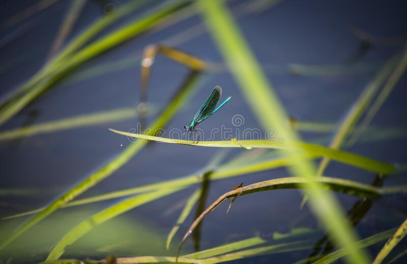 Tiny beautiful dragonfly on a green grass, wild nature, countryside stock photography