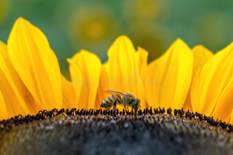 Tiny bee on a beautiful sunflower royalty free stock photos