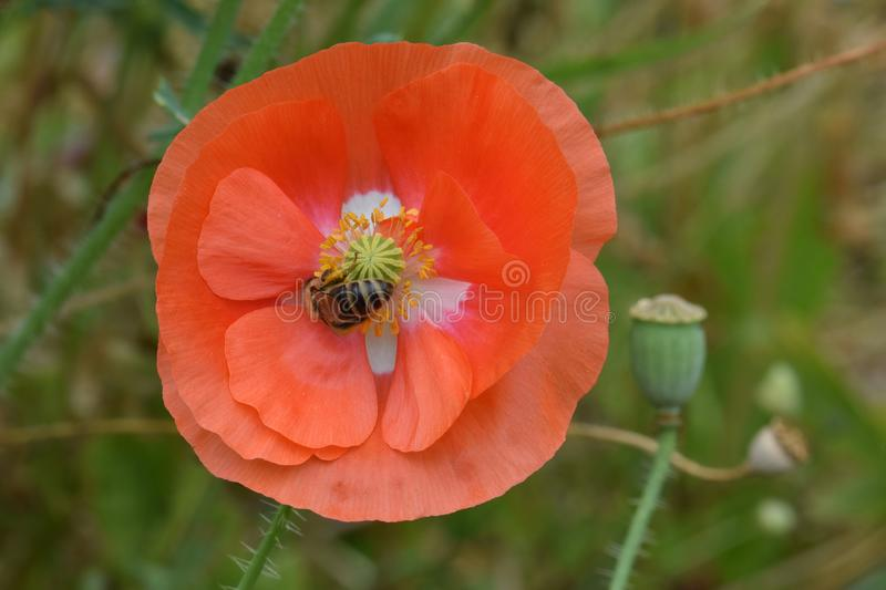Bee Nestled in Orange Petaled Poppy Flower 01. Tiny bee forages in the yellow anthers of an orange petaled Flanders Peace Poppy flower royalty free stock image