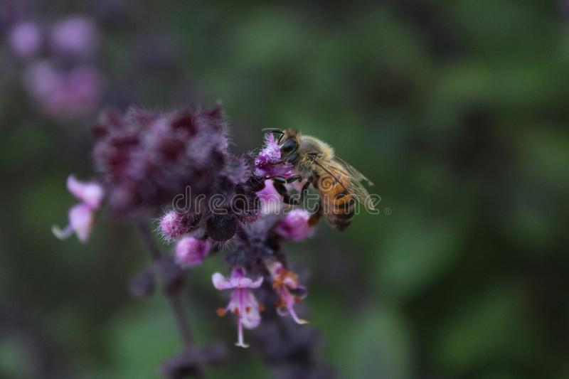A tiny bee pollinating on small flowers royalty free stock photography
