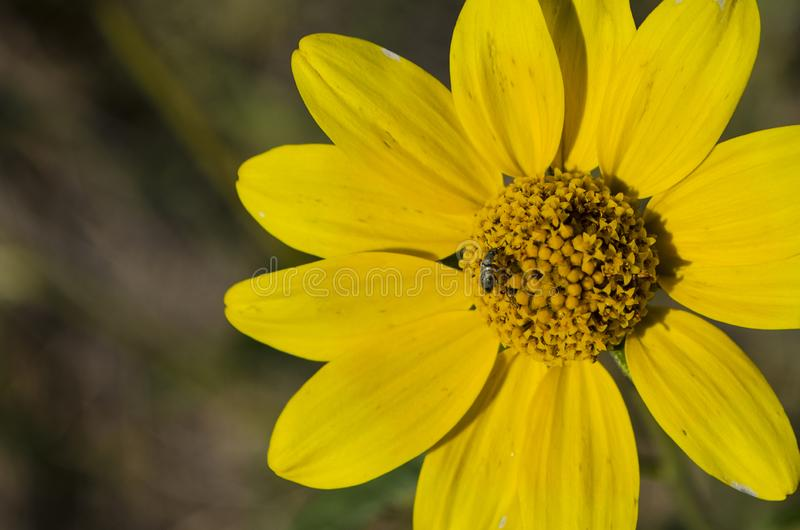 Tiny bee ventures out across a Yellow Osteospermum stock images