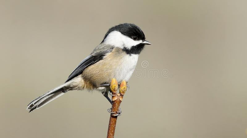 Single Small Chickadee Perched High On A Treetop stock photo