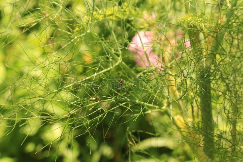 Tiny Black Swallowtail caterpillars on fennel stock photos