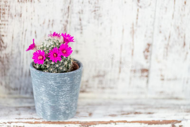 Tiny Blooming Cactus in the Pot royalty free stock photo