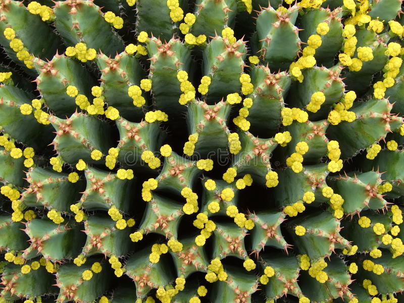 Tiny blossoms of huge Euphorbia