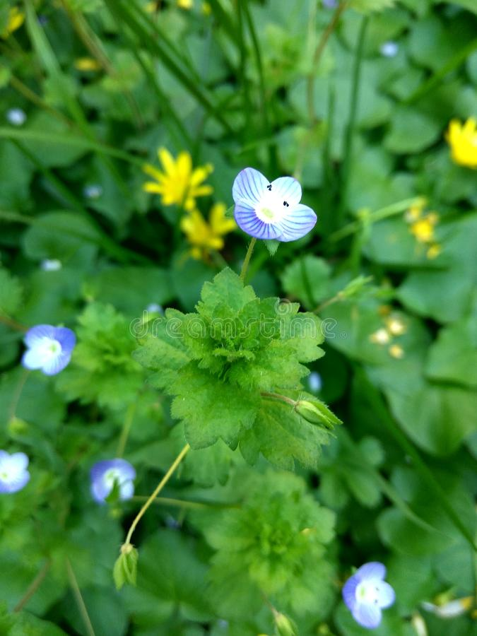 Tiny blue flower on a blurry green grass and yellow flowers background. Nature coming back to life in spring time royalty free stock image