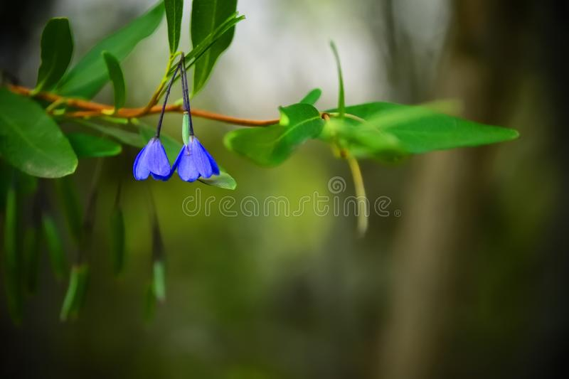 Tiny Blue Flowers. A close up of two tiny blue flowers royalty free stock images