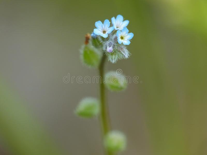 Tiny Blue Flowers. Closeup of tiny blue flowers on a natural background royalty free stock image