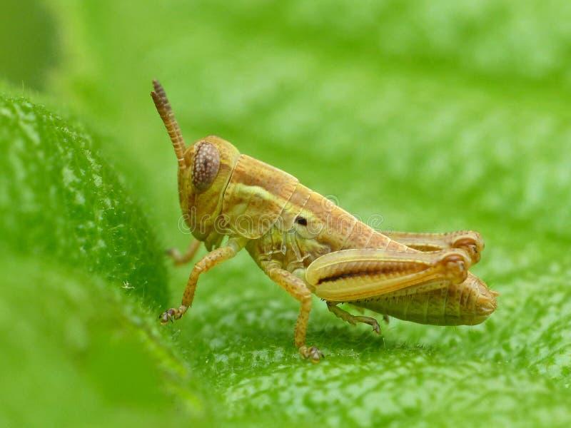 Tiny Brown Grasshopper lizenzfreies stockbild