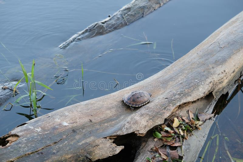 Tiny brown turtle lives on the old log in a little pond, with text copy space. The tiny brown turtle lives on the old log in a little pond, with text copy space stock image
