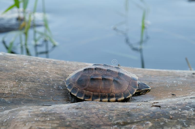 Tiny brown turtle lives on the old log in a little pond, with text copy space. The tiny brown turtle lives on the old log in a little pond, with text copy space royalty free stock photo