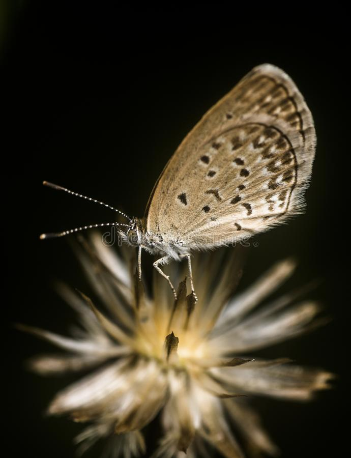 Tiny butterfly going to sleep on the dead flower. S stock photo