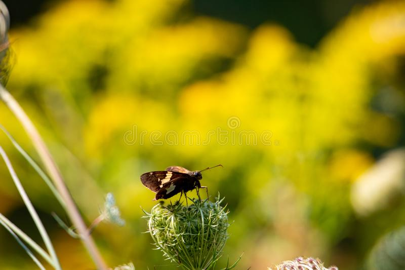 Tiny butterfly on a wild flower photographed in Ontario Canada royalty free stock images