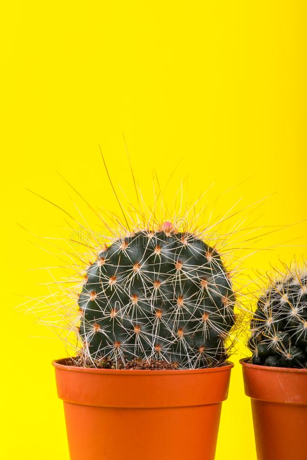 Tiny Cactus in the Pot on Bright Neon Background. Saturated Imag royalty free stock photos