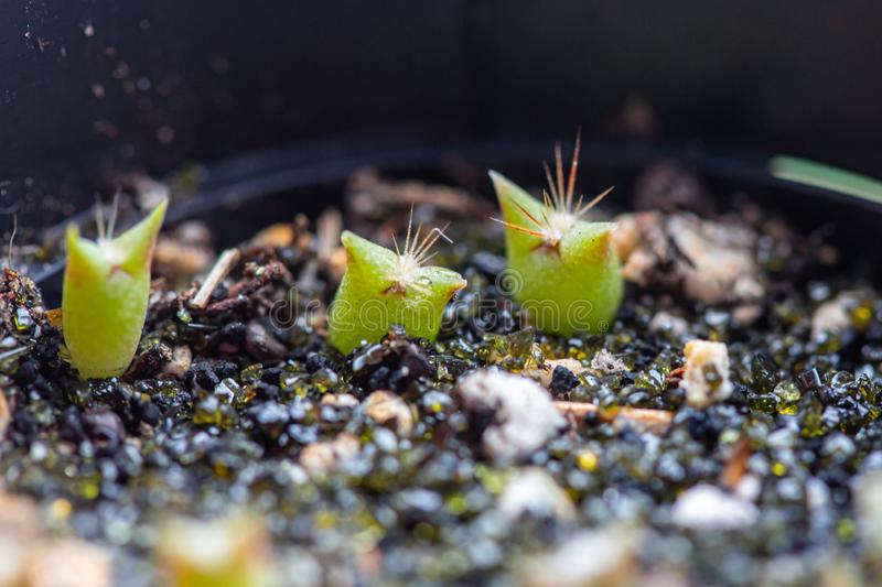 3 tiny cactus seedlings in cactus soil stock image