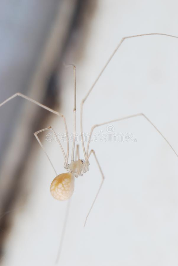 A tiny cellar spider stock photos