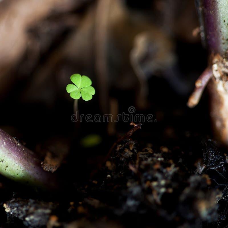 Tiny Clover macro stock image