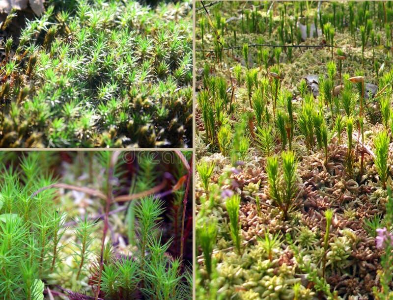 Tiny coniferous blade of grass royalty free stock photo