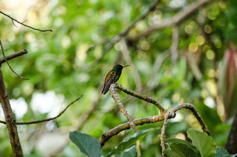 Tiny Copper-Rumped Hummingbird, tropical forest. A small copper-rumped hummingbird, latin name amazilia tobaci, resting on a branch in tropical woodland in stock photo
