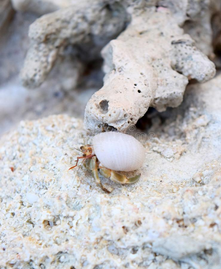 A Tiny Crustacean with its Sea Shell Walking among Corals - Marine Life and Fauna in Andaman & Nicobar Islands, India. This is a photograph of a tiny crustacean royalty free stock image