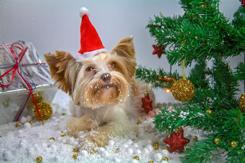 Little puppy celebrates new year stock photo