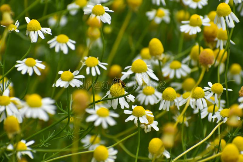 Tiny Daisies, Background, Field of Flowers. Tiny, yellow and white daisy field of flowers.  Beautiful background photo.  Spring Flowers stock photos