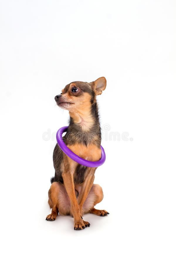 Tiny dog with hoola hoop on neck. Russian sleek-haired toy-terrier dog sitting isolated over white background, studio shot stock images