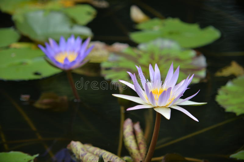 A tiny dragon fly relaxing on a lotus royalty free stock images