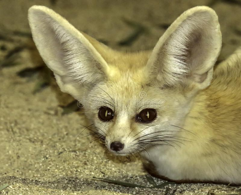 Tiny Fennec Fox. Close up portrait of Saharan fox laying in sand against a tan background stock photography