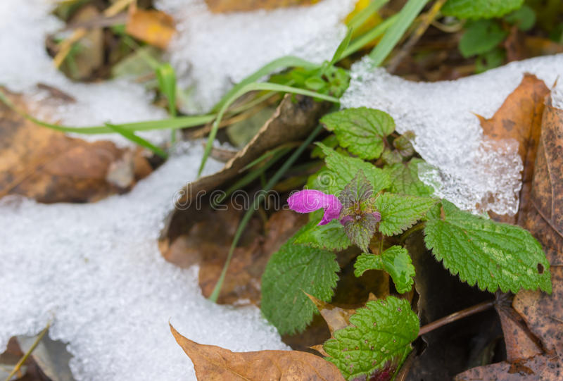 Tiny flower among foliage covered with early snow in late autumnal season. Wild tiny flower among foliage covered with early snow in late autumnal season royalty free stock photos