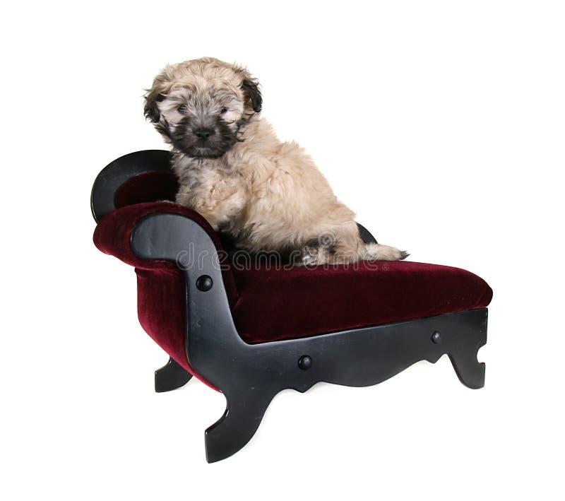 Tiny fluffy puppy royalty free stock photo