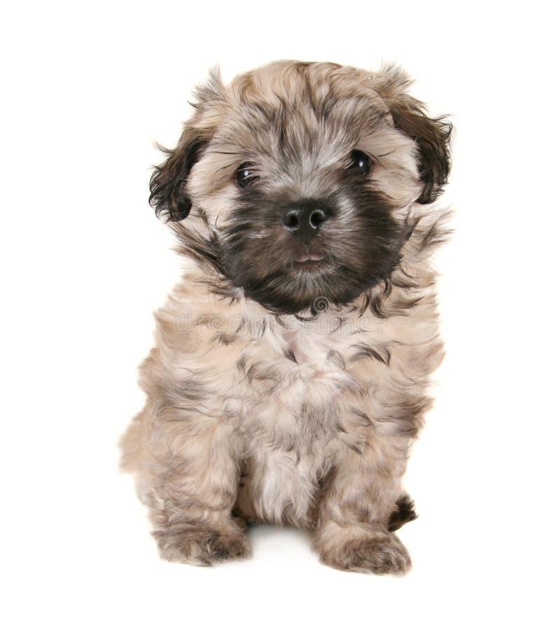 Tiny fluffy puppy stock image