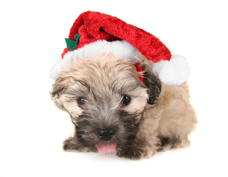 Tiny fluffy puppy stock photos