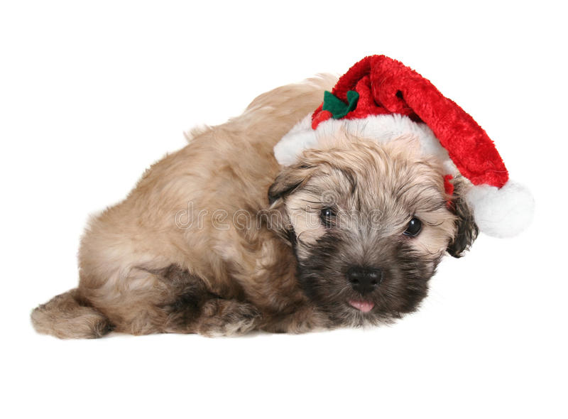 Tiny fluffy puppy royalty free stock images