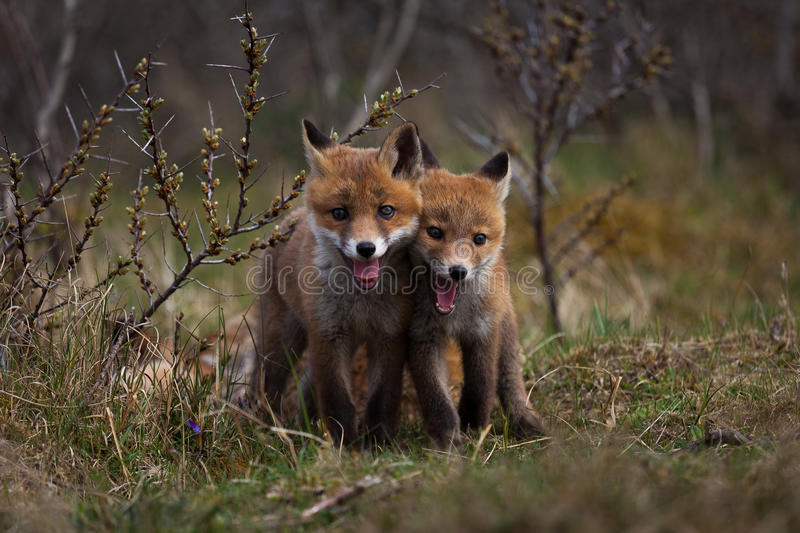 Tiny Foxes. Two tiny foxes playing around royalty free stock photo