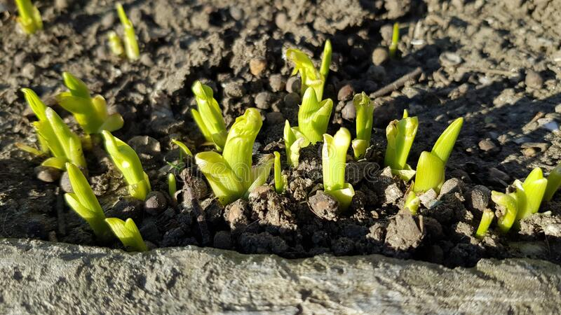 Tiny fresh green sprouts closeup on blurry soil background. Spring growth concept. Beginning of new life. stock photos