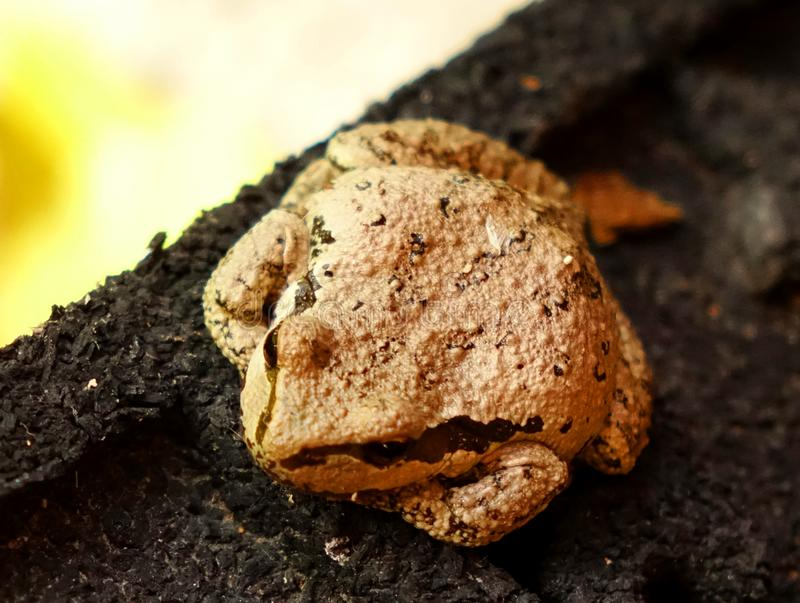 Tiny Frog Can Easily Hide in the Garden. This tiny, spotted frog is not much larger than a quarter dollar so it can easily hide and camouflage in the garden royalty free stock photo