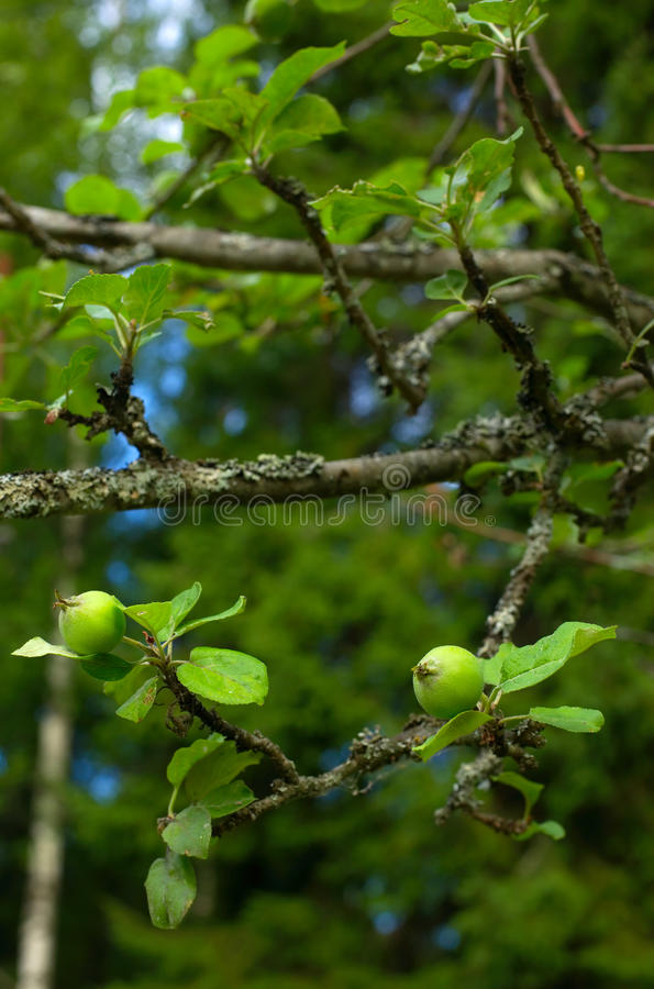 Download Tiny green apples on tree stock photo. Image of springtime - 17332042