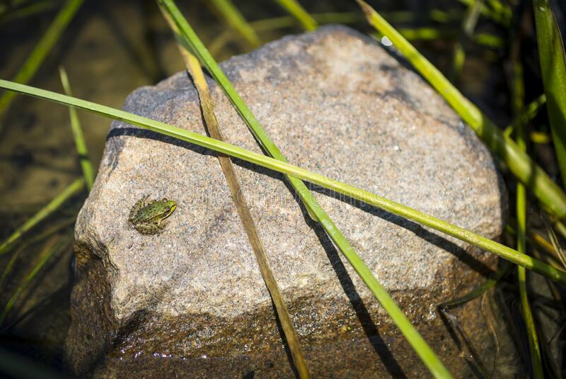 Tiny green frog sitting on a river stone royalty free stock photos