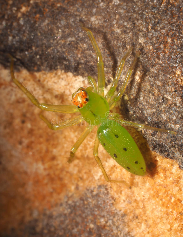 Tiny Green Lynx Spider on a Rock. Close Up of a Tiny Green Lynx Spider on a Rock royalty free stock image