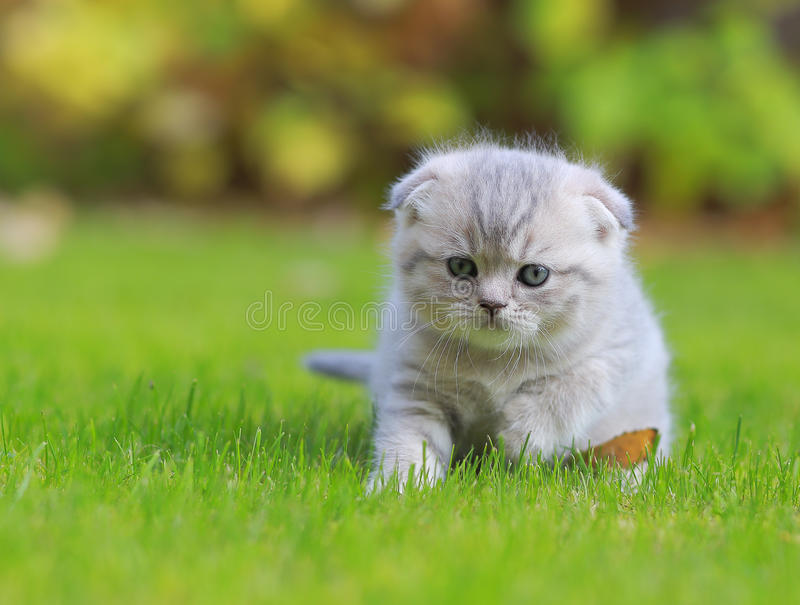 Download Tiny Grey Kitten On Green Grass Stock Image - Image of baby, grey: 34426851