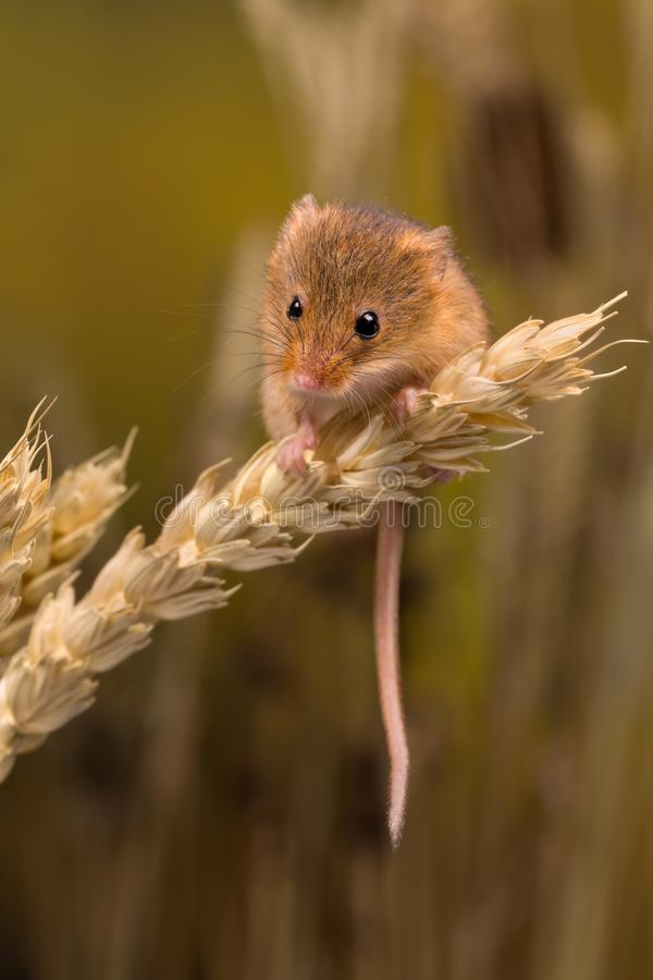 Tiny Harvest Mouse stock image