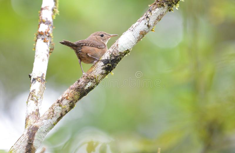 House Wren perched on a branch. Tiny House Wren perched on a tree with a vibrant lush background with copy space stock photos