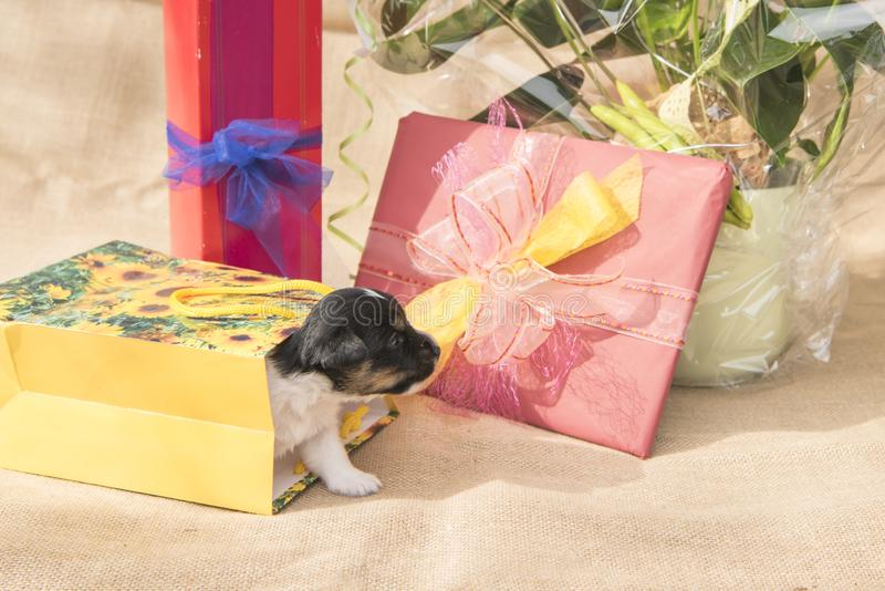Tiny Jack Russell Terrier puppy dog is in the midst of many gifts stock photography