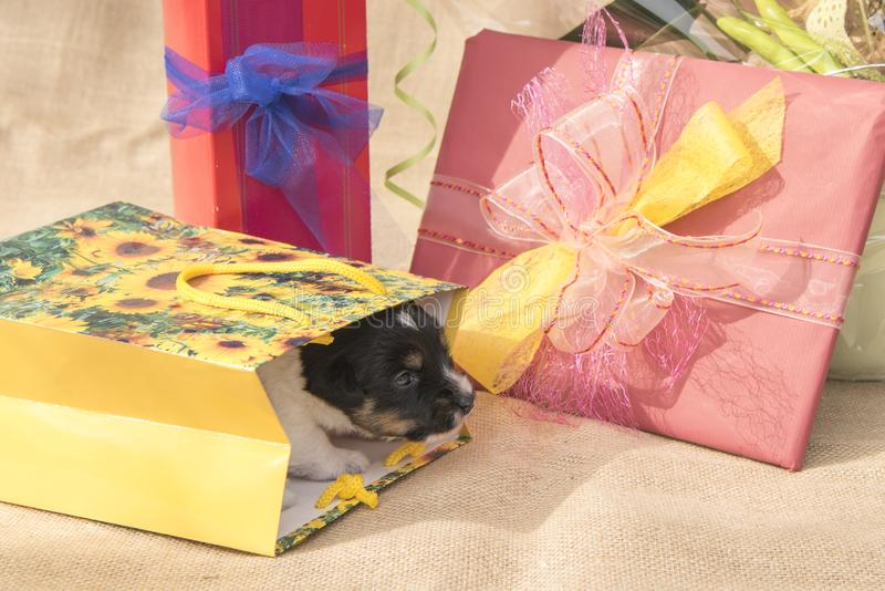 Tiny Jack Russell Terrier puppy dog is in the midst of many gifts royalty free stock image