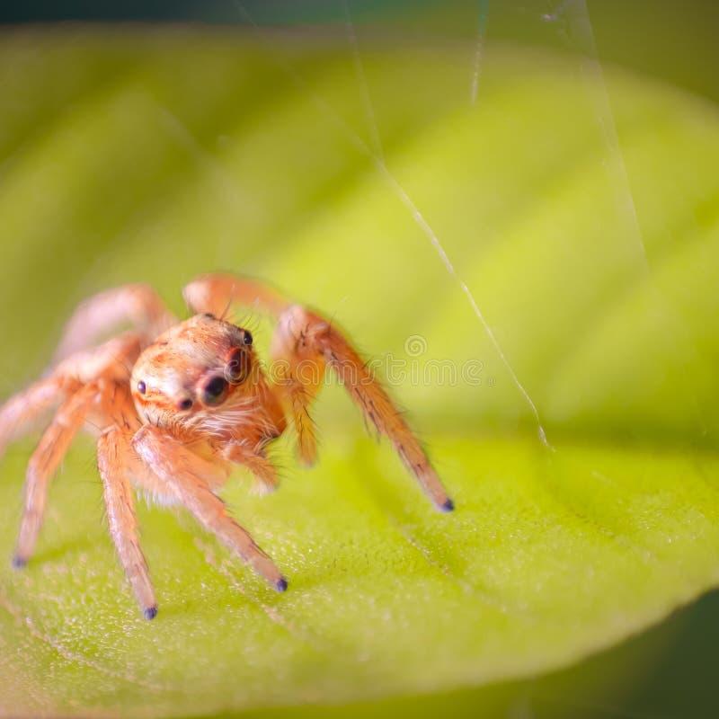 A tiny Jumping spider. Close - up,  Macro photography royalty free stock photo