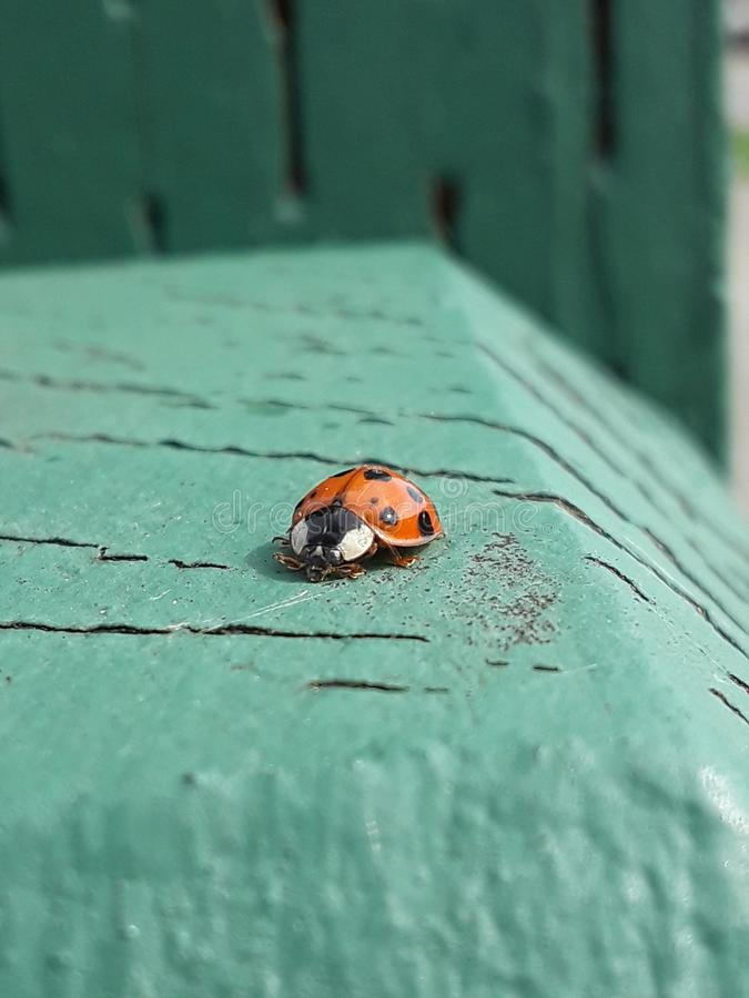 Tiny lady bug royalty free stock photography