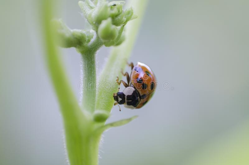 Tiny ladybug sits on the stem of a plant, macro, close up, blurred backgroung. royalty free stock images