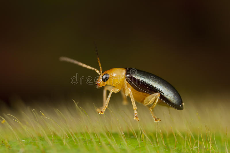 Tiny leaf beetle floating on hairy leave royalty free stock photos