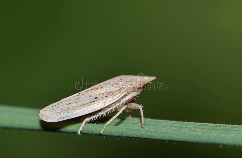 Tiny leaf hopper insect on a plant stem. A tiny leaf hopper Prairiana orizaba stands out on a blade of tall grass. Their coloration helps them blend in with royalty free stock image